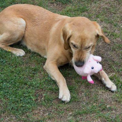 Gioco per cani Maialino Massaggiatore