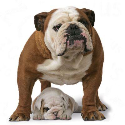 Royal Canin Bulldog Adult at zooplus