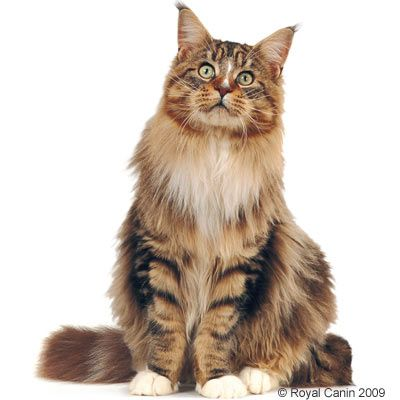 Royal Canin Maine Coon pour chat