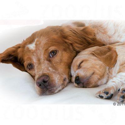royal canin medium starter mother babydog. Black Bedroom Furniture Sets. Home Design Ideas